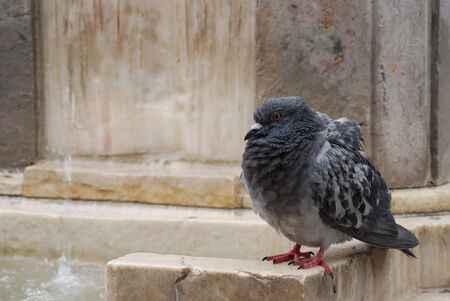 Pigeon ruffling its feathers