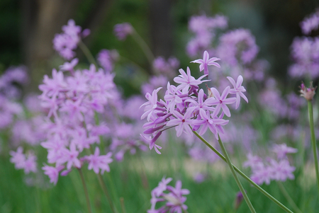 A bed of pink agapanthus photo