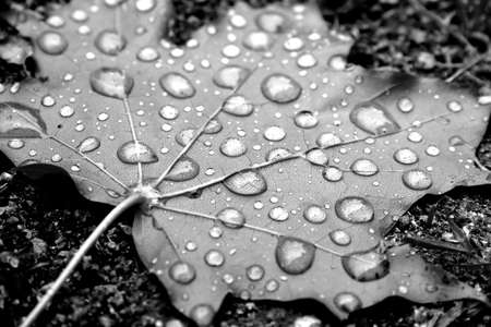 Leaf of a maple with drops of dew Stock Photo