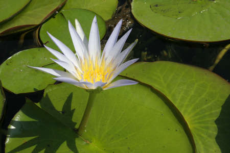 White lotus in a pond close up Stock Photo