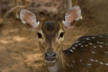 Young Spotted Fawn close-up