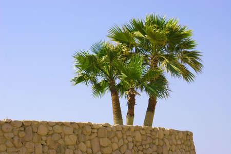 Palm tree on stone wall