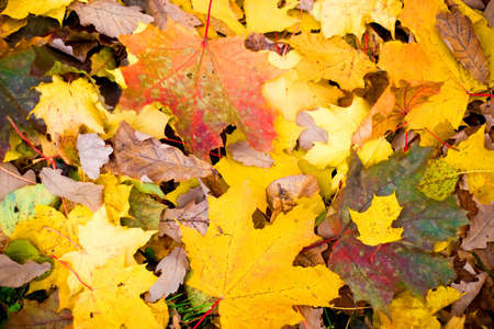 Multi colored fall maple leaves background