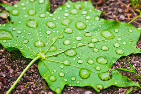 Green maple leaf with water drops