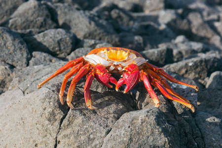 animal parts: Sally lightfoort crab walking towards the camera. Selective focus on the head, other parts of the animal have a soft focus, fore- and background is out of focus Stock Photo