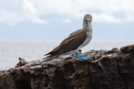 booby: Blue footed booby looking down. Selective focus on the bird, background is out of focus