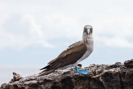 marine bird: Blue footed booby looking straight into the lens. Selective focus on the bird, background is out of focus