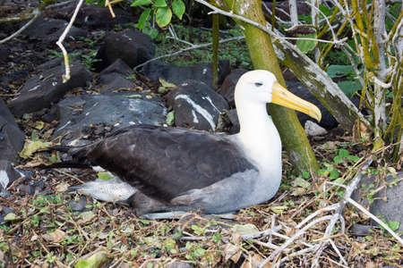 wingspan: Waved albatross nesting near the forest