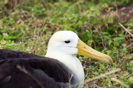 wingspan: Close-up of a nesting waved albatross Stock Photo