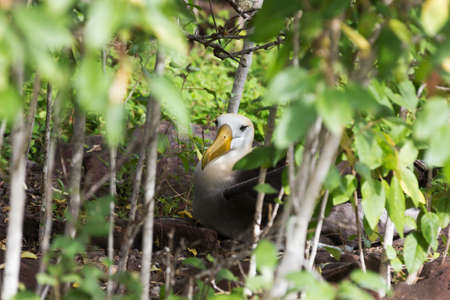 waved: Waved albatross nesting in the bushes