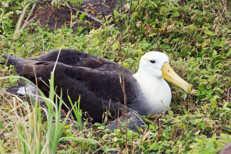 wingspan: Frontal side view of a nesting albatross