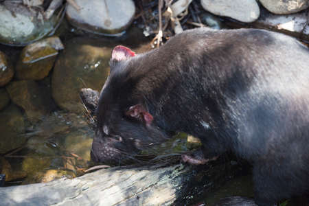 tasmanian: Tasmanian devil drinking