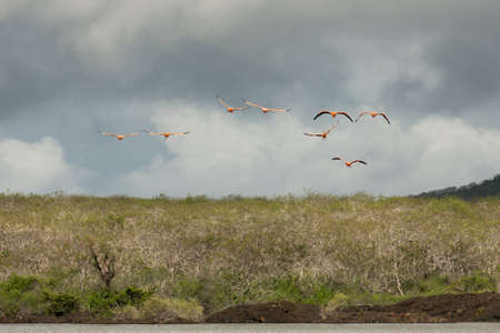 Flight of flamingos approaching head-on. Surroundings are blurred due to panning and wingtips due to fast movement