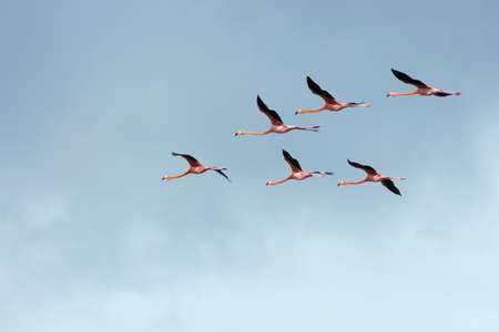 Flight of flamingos in a V-shaped formation. Wingtips are blurred due to fast movement