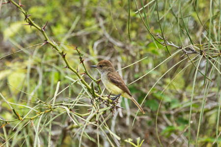 looking around: Galapagos flycatcher looking around on a branch with thorns. Selective focus on the bird, surroundings are out of focus