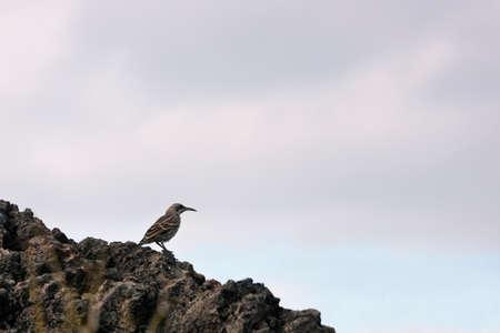 mockingbird: Hood mockingbird resting on a rock Stock Photo