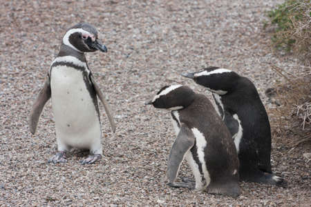 apparently: Magellanic penguins, apparently in a complicated conversation Stock Photo