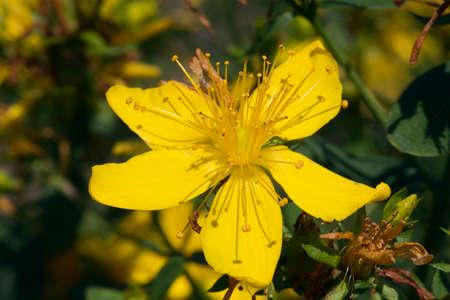 Close-up van de St John wort bloem