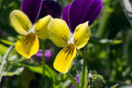 Heartsease bloem