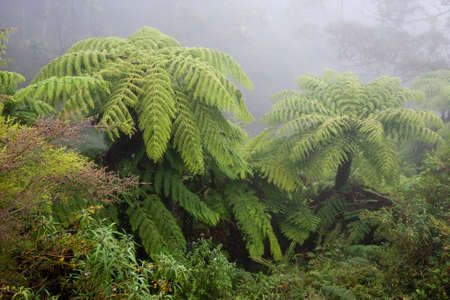 Australian tree fern in the mist