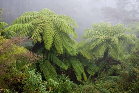 Australian tree fern in the mist