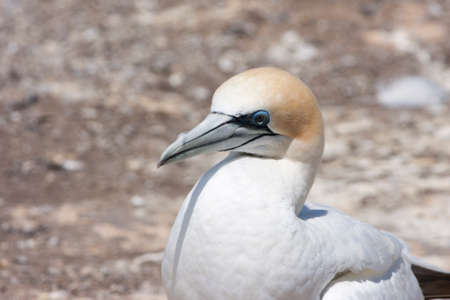 australasian: Gannet posing for the picture Stock Photo