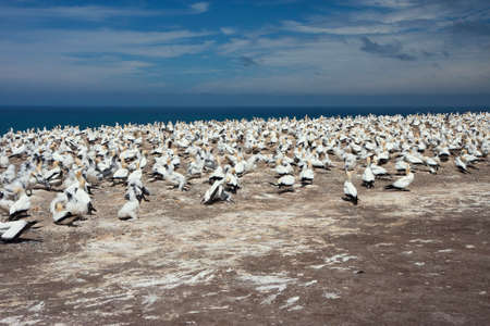 colony: Gannet colony