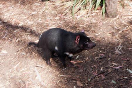 tasmanian: Running Tasmanian Devil