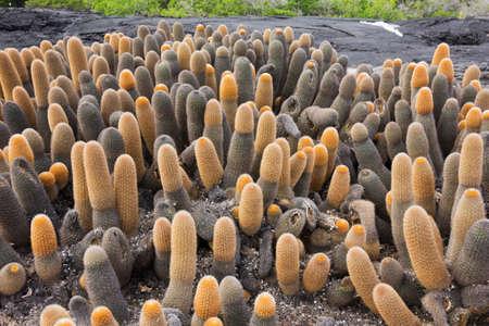 Lava cactus invading a lava field.