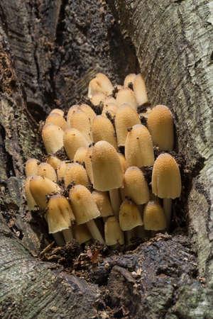 tuft: Sulphur tuft on a tree trunk