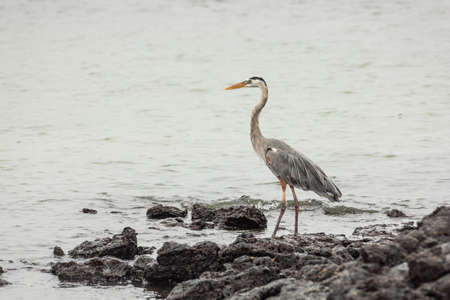 wading: Great blue heron wading through the water. Selective focus on the bird, foreground and background are out of focus Stock Photo