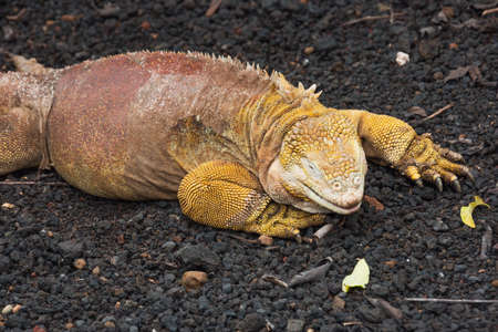 Closeup of a land iguana sitting on lava gravel and pumice. Selective focus on the head of the animal. The rest of the body softens with increasing distance Stock Photo