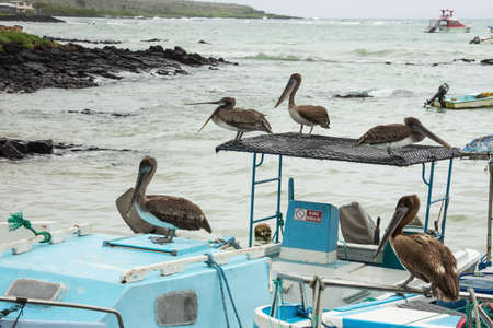 animal pouch: Brown pelicans waiting for a catch. Selective focus on the birds, background is out of focus Stock Photo