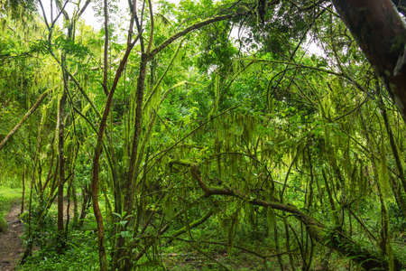 tropical evergreen forest: Tropical rainforest on Santa Cruz Island