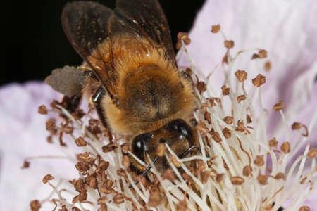 the stamens: Honey bee hidden behind stamens
