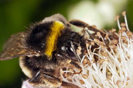 stamen wasp: Bumblebee between stamens
