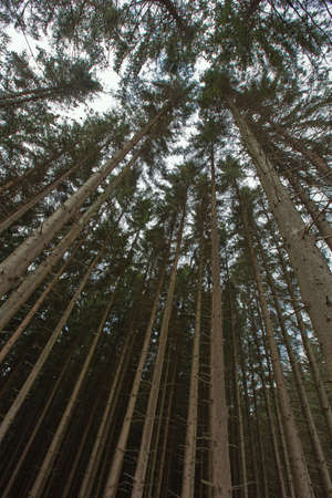 the ardennes: Pine tree tops in Odeigne