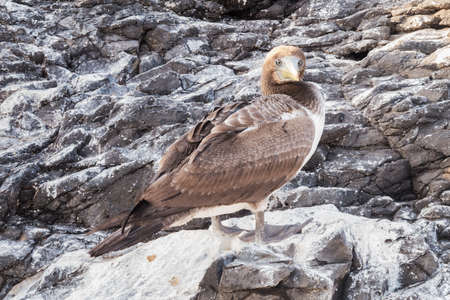 wingspan: Brown booby looking proudly on a rock. Selective focus of the head, more distant parts have soft focus and background is out of focus