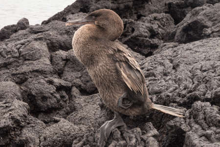 flightless: Closeup of a flightless cormorant against a wall of lava rocks. Selective focus on the bird, background is out of focus