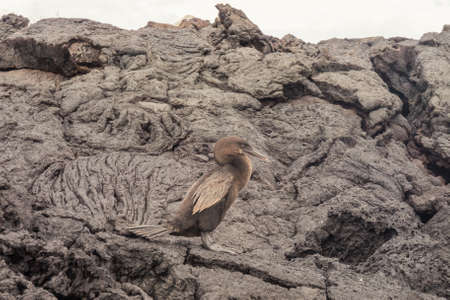 Flightless cormorant with rocks of ropy pahoehoe. Selective focus on the bird. The background softens as distance increases.