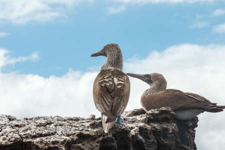 boobies: Two blue footed boobies looking into infinity