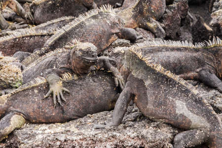 two animals: Two marine iguanas looking at each other. Selective focus on the head of the two animals, foreground and background are out of focus. Stock Photo