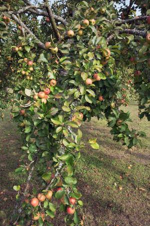 ww1: Old apple wide in the abbey orchard in close-up
