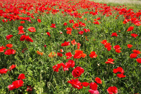 Field coloured in red from poppies. Selective focus on the foreground, background softens