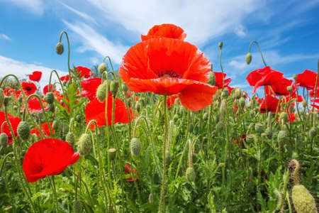 ww1: Poppy with white border against a blue sky. Selective focus on the center flower, foreground and background are intentionally out of focus.