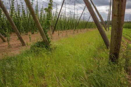 hopfield: Side view of a hop yard Stock Photo