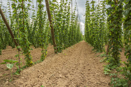 hopfield: Inside a hop yard. Selective focus on the foreground. Focus on the less interesting background is soft.