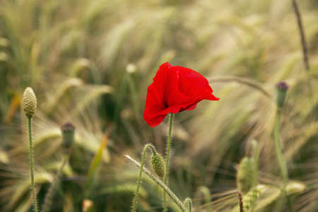 ww1: Poppy in a barley field. Selective focus on the flower, foreground and background are out of focus. Stock Photo