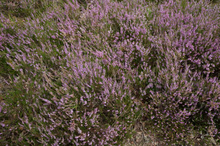 heather: Flowering heather
