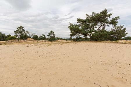 moorland: Pine trees on the moorland